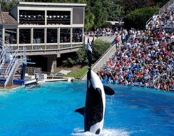 A killer whale performs at SeaWorld in San Diego on Sept. 16, 2007.