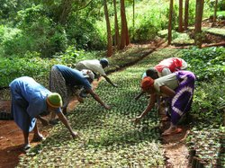 A GBM (Green Belt Movement) nursery in Tumutumu Hills, Kenya.
