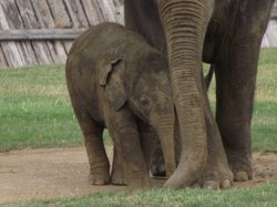 A young elephant sticks close to its mother, ZSL Whipsnade Zoo.