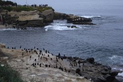 Seal lions, seals and birds rest on rocks along La Jolla Cove, while scuba divers and snorkelers explore the underwater ecological reserve, January 16, 2012. 