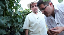 Host Jorge Meraz gets to taste wine grapes with Marco Amador from L.A. Cetto in Valle de Guadalupe.