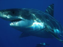 Great white shark near Guadalupe Island.