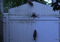 A mother raccoon and her babies attempt to get into a shed.