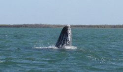 A California Gray Whale peeks it's head out of the waters of Bahía Magdalena, Baja California Sur, MX.