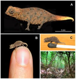The species of chameleon is one of the world's tiniest lizards, found on an island off Madagascar.