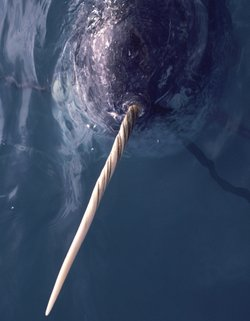 "A narwhal with its unicorn-like ""tusk""; northwest Greenland."