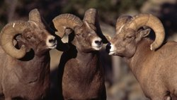 A council of bighorn rams.