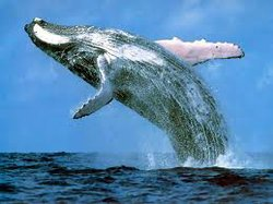 Thousands Of Marine Mammals May Be Harmed By Navy Sonar