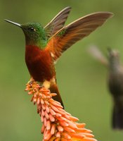 A chestnut-breasted coronet.