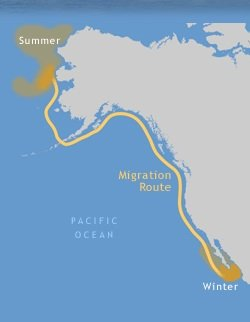 Gray whales travel10,000 to 14,000 miles roundtrip every year -- from feeding grounds near the Arctic to breeding lagoons in Baja California.
