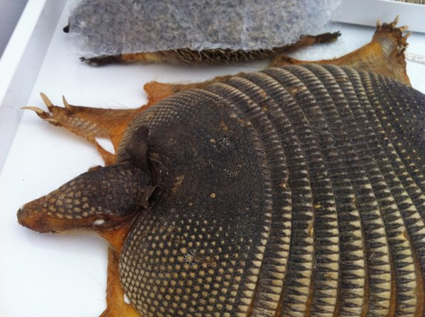 An armadillo that was found dead in a swimming pool is another one of the thousands of specimens in the museum's collection.