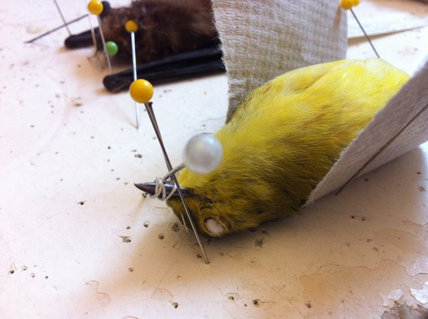 One of the birds that Philip Unitt skinned and stuffed for the collection at The Nat.