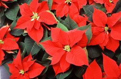 Poinsettia plants.