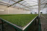Thousands of watermelon plants await shipping from this greenhouse in Imuris, Sonora, Mexico to Sinaloa, Mexico. They'll end up on tables in the United States.
