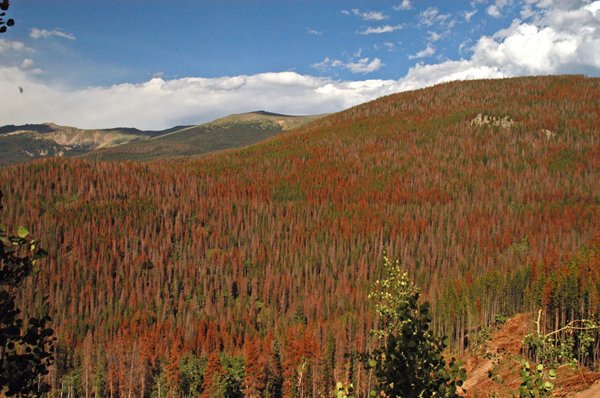 Bare branches and rust-colored foliage denote dead and dying trees in the Colorado's Front Range.