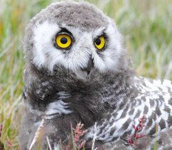 Juvenile snowy owl close up.