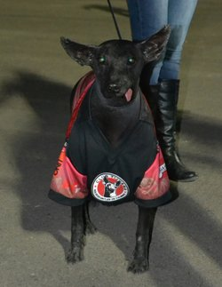 A xoloitzcuintle, the mascot of the Xolos, in its team's jersey.  The jersey also serves to keep it warm, as xoloitzcuintles (also known as Mexican Hairless Dogs) have almost no fur.