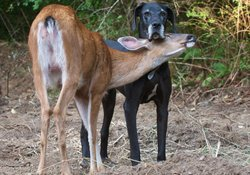 Pip (doe) often visits Kate, her surrogate Great Dane mother.