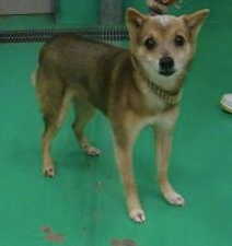 Dog facing euthanization at Okinawa Prefectural Animal Protection and Control Center.