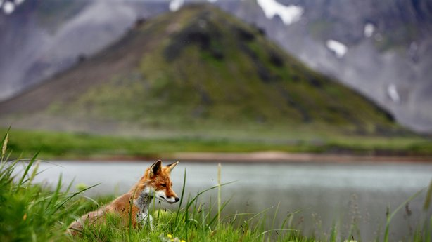 One of the few mammals to venture in the Aniakchak caldera (Alaska) is the Arctic fox.  