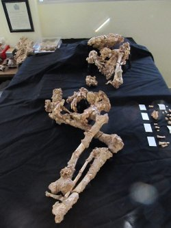 Neanderthal skeleton Paloma, from Sima de las Palomas, a Neandertal burial site near Murcia, Spain.