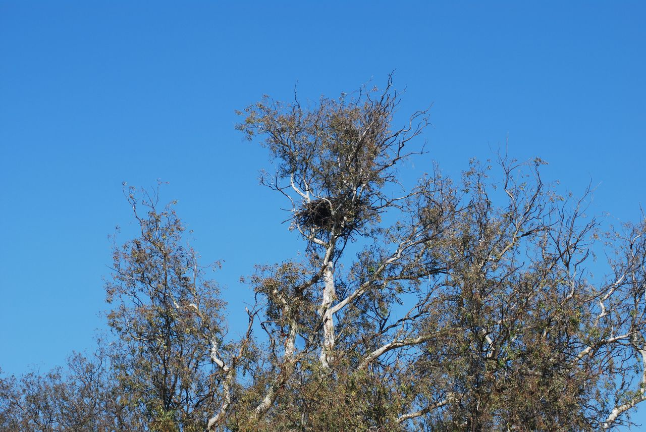 Eagle nest in tree