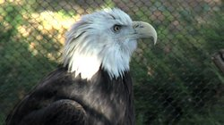 Eagle at the San Diego Safari Park