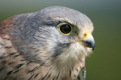 "CU Kestrel (trained). In ""Attenborough's Life Stories,"" David Attenborough discusses the use of extreme slow motion filming to show how kestrels hover."