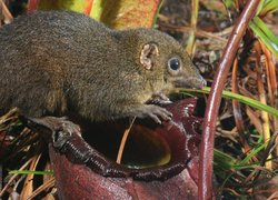 Rajah pitcher plant (Nepenthes rajah) with Mountain Treeshrew (Tupaia Montana). The pitcher plant (largest in the world) is a tree shrew toilet. It feeds the tree shrew with nectar and receives fertilizer in the form of droppings in return. Kotu Kinabalu, Sabah, Malaysia.
