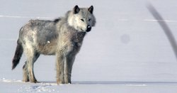 Alpha male wolf on snow.