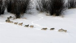 Wolf pack traveling through snow.