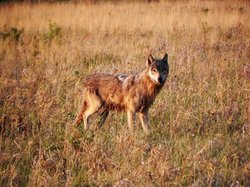 Young wet wolf on grass meadow.