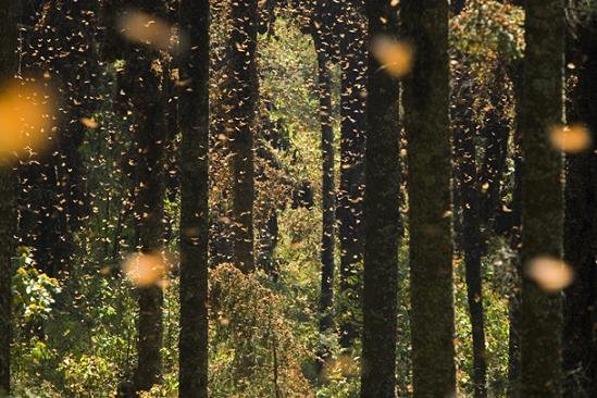 Monarch Butterfly migration in Mexico. Credit: veryveryfun.com