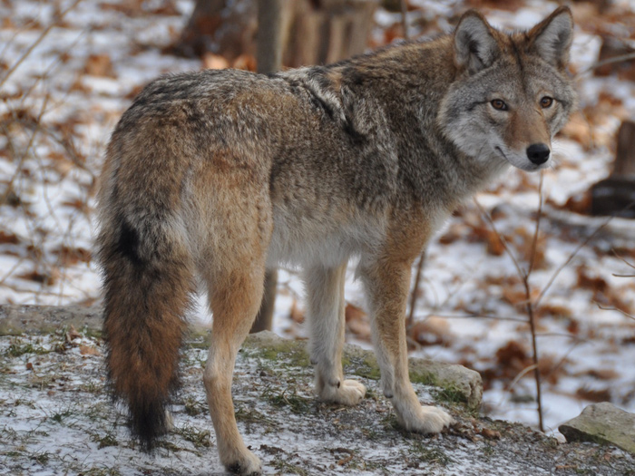 nature 2014 meet the coy wolf