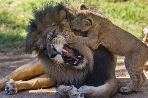 lion cubs get face time with father at san diego zoo