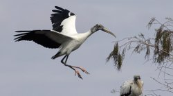 A wood stork prepares to land in a tree at Big Cypress National Preserve in Florida in 2005. The bird&#39;s wingspan can reach more than six feet.