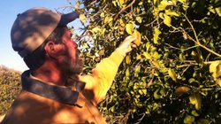 James Truman inspects a grapefruit tree for frost damage on his 21-acre citrus farm northwest of Phoenix.