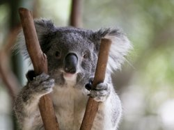 Koalas aren't really bears but we don't seem to mind.