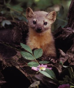 A group of volunteers helps biologists see if there are any martens left in the Olympic National Forest in Washington state.