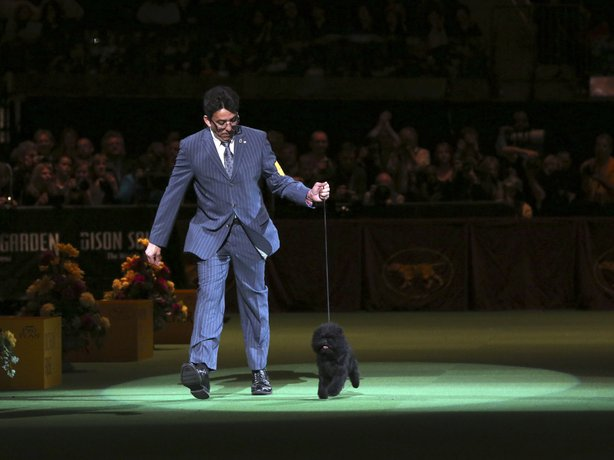 Ernesto Lara presents Banana Joe, an affenpinscher, during the Best in Show competition at the 137th Westminster Kennel Club dog show on Tuesday at Madison Square Garden in New York.