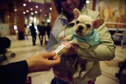 Jerry Grymek, doggie concierge at the Hotel Pennsylvania in Manhattan, hands a treat to Rennet, a 10-week-old French bulldog. Rennet came to the hotel from Pennsylvania ahead of the at the 137th Westminster Kennel Club Dog Show.