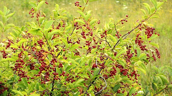 Twigs and leaves from chokecherries are high in vitamin K...