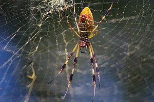 Spiders Tune In To Web's Music To Size Up Meals And Mates