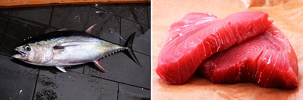 A yellowfin tuna caught in the Gulf of Mexico; a yellowfi...