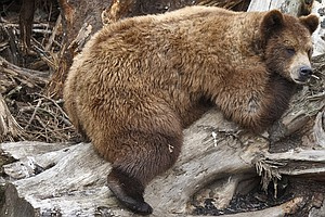 Why Fat Grizzlies Don't Get Diabetes Like We Do