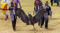 The giant condor, which has a wingspan of up to 10 feet, is brought into the ...