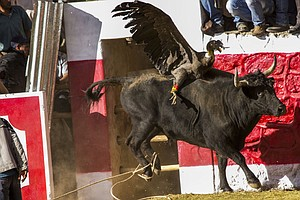 In Peru's Blood Festival, It's The Condor Versus The Bull