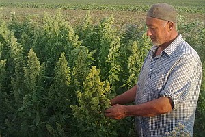 Can Quinoa Take Root On The 'Roof Of The World'?