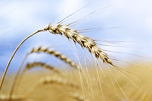 GMO Wheat Investigation Closed, But Another One Opens