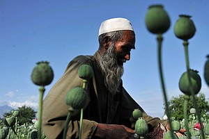Afghanistan's Opium Harvest Sets New Record